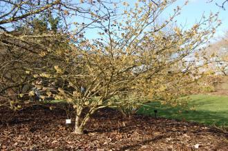 Hamamelis x intermedia 'Primavera' (08/02/2015, Kew Gardens, London)