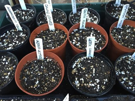 Freshly sown seeds in the propagator