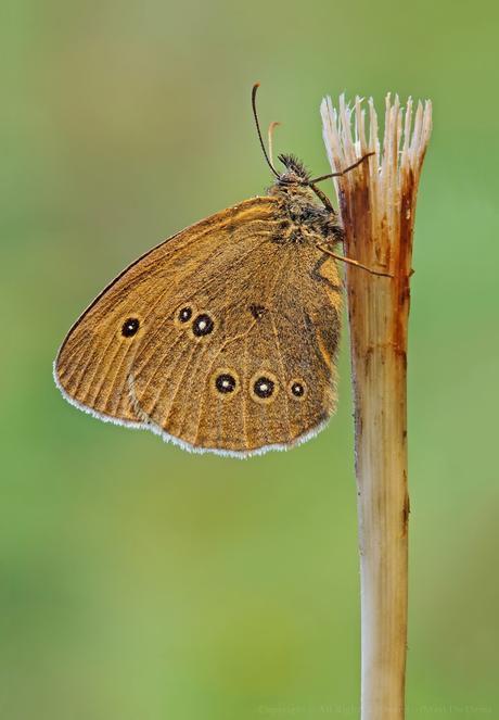 Aphantopus hyperantus, Tristan (papillon) ,Ringlet