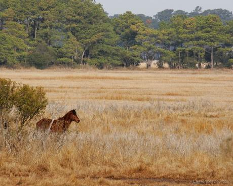 Chincoteague Pony © 2006 William Lawrence