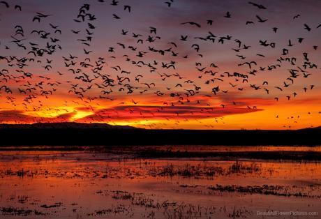 Sunrise at Bosque del Apache ©2009 Patty Hankins