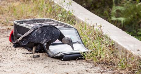 Turkey Vulture © 2013 William Lawrence
