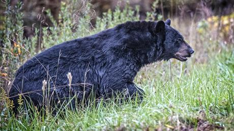 BearWet
