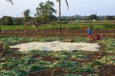 farm-onion-harsha-photography