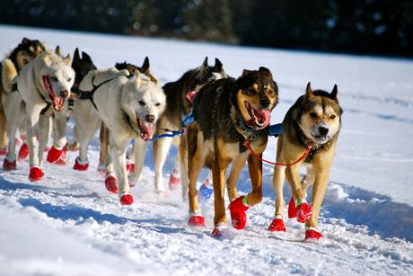 Iditarod 2015: Dallas Seavey Takes Lead Out of Elim
