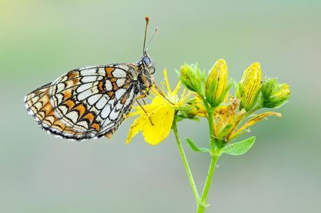 Melitaea aurelia, Mélitée des digitales, Nickerl's fritillary