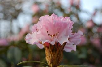 Rhododendron 'Christmas Cheer' Flower (15/03/2015, Isabella Plantation, Richmond Park, London)