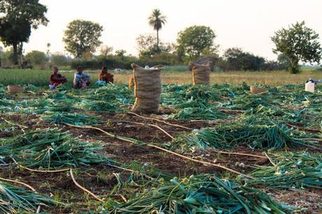 onion-farm-harsha-photography