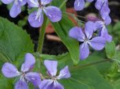Lunaria 'Corfu Blue'