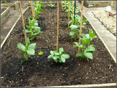 Spare Broad Beans - to use or not to use?