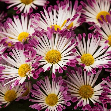 Yolaporte Chrysanthemums © 2015 Patty Hankins
