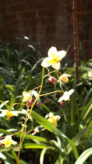 Epimedium Black Sea