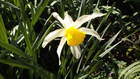 Narcissus Sophies Choice