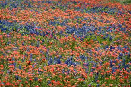 Texas Wildflowers in the Wind © 2015 Patty Hankins