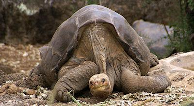 Extinct Giant Tortoise May Still Be Alive In Galapagos
