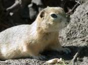 Featured Animal: Gopher