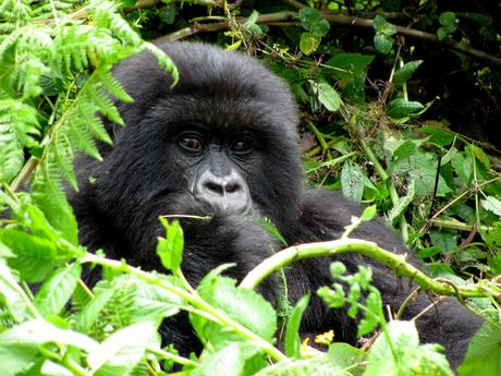 Mountain gorilla conservation showing deserved success