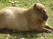Featured Animal: Capybara