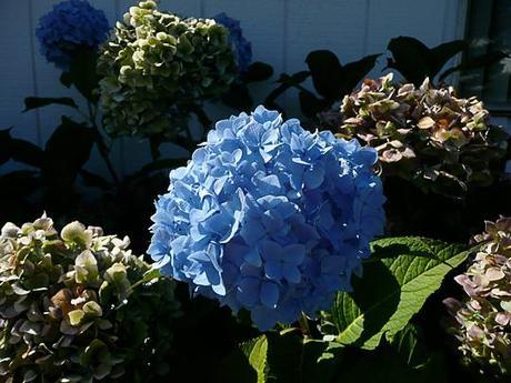 Ortensia blu and a recipe too paperblog - Ortensia blu ...