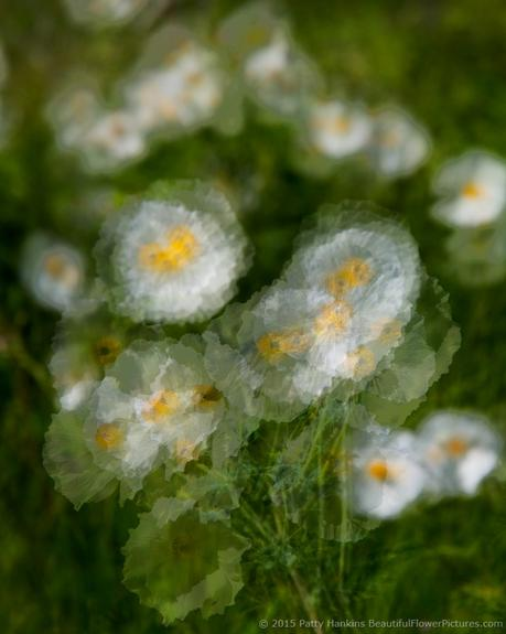 Prickly Poppies in the Wind © 2015 Patty Hankins