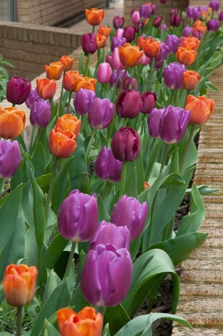 Tulip joy at Helmi House