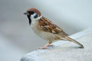 800px-Tree_Sparrow_Japan_Flip