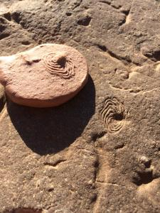 One of my favourite Ediacaran fossils, the aptly named Eoandromeda. © CJA Bradshaw