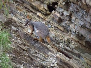 yellow-footed rock wallaby (Petrogale xanthopus). © D. García-Bellido