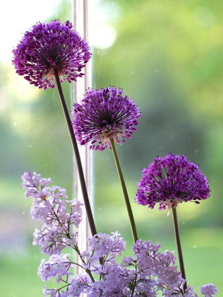 Alliums-and-Lilac