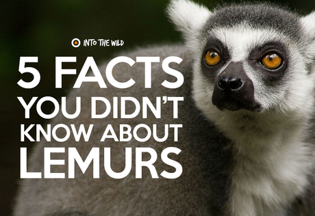 5 facts you didn't know about Lemurs