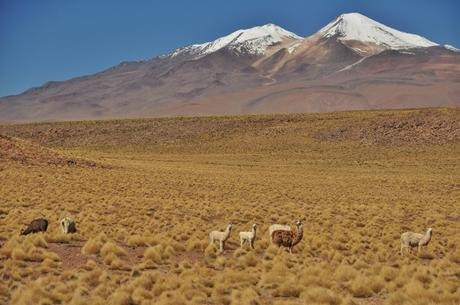 Llamas llamas everywhere!