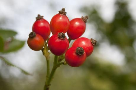 Rosehips for Sukin rosehip oil