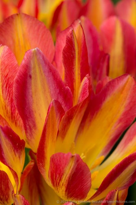 Pink & Yellow Tulips © 2015 Patty Hankins