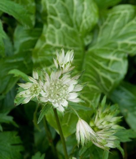 Astrantia and Arum italicum