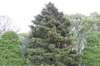 Picea torano (04/04/2015, Kyoto Botanic Gardens, Kyoto, Japan)
