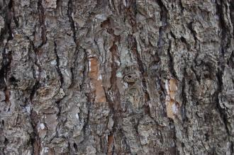 Picea torano Bark (04/04/2015, Kyoto Botanic Gardens, Kyoto, Japan)