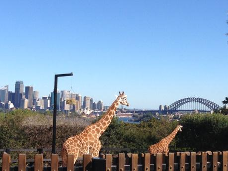 Giraffes at Tarongo Zoo