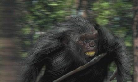 Cannabalistic Neanderthals hunted humans?