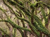 Photo: Live Oaks with Spanish Moss