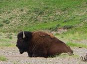 Yellowstone: Animal Report