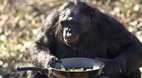 Can chimpanzees cook?