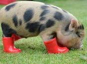 Pictures Pigs Boots Shoes