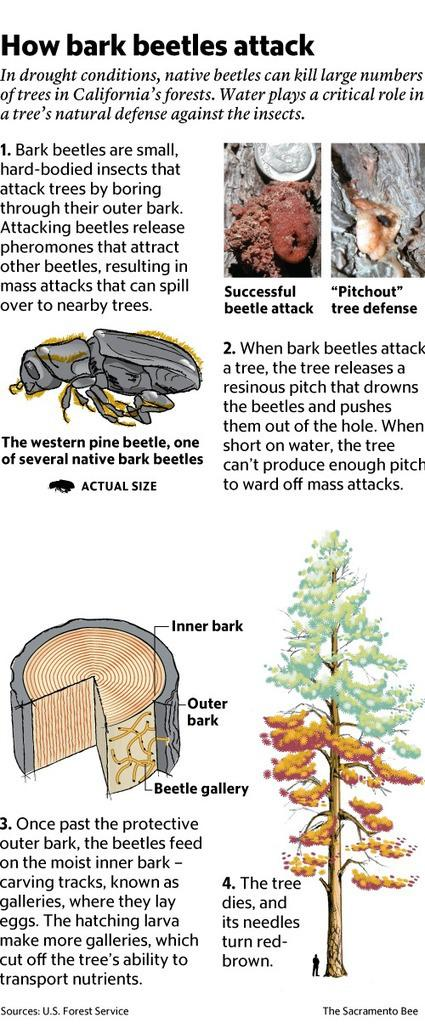 Drought, beetles preying on weakened California forests   The Sacramento Bee