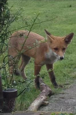 Fox Hunting Ban - My Thoughts & How You Can Help!