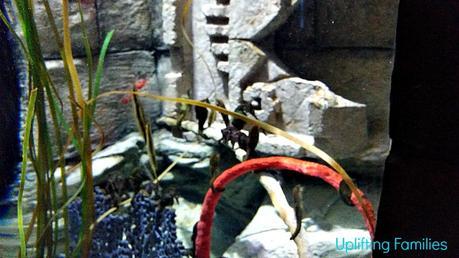 Seahorses at Sea Life Aquarium Grapevine Texas