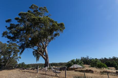 large tree next to goldfields track