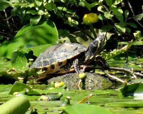 Abandoned Terrapin Amazes Experts after Surviving 25 Years