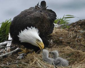 Bald-Eagle-And-Babies
