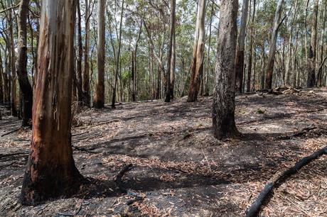 burnt bush wombat state forest