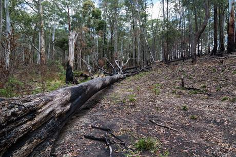 fallen tree burnt wombat state forest